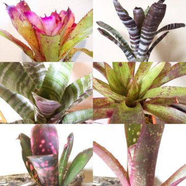 【Frontier Plants】タンクブロメリア図鑑 ネオレゲリア、ホヘンベルギア、ビルベルギア、エクメア