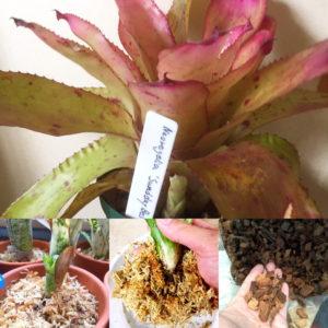 タンクブロメリアの植え替え方法