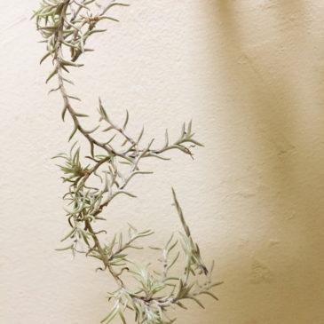 チランジア・カピラリス変種ピッチフォーク Tillandsia capillaris v. virescens (Formerly Pitchfork) El Grande育て方 図鑑