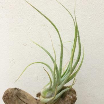 チランジア・ブラッシングジャイアント Tillandsia Blushing Giant (T. streptophylla X T. seleriana) 育て方 図鑑