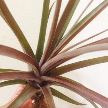 チランジア交配種 ストレプトフィラ×ノバキー Tillandsia streptophylla×novakii 育て方 図鑑