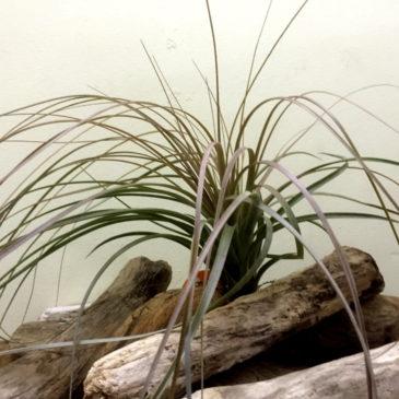 チランジア・エクセルタ×ファシクラータ Tillandsia exserta×fasciculata 育て方 図鑑
