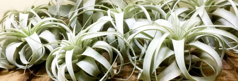 Bromeliad ブロメリアとは