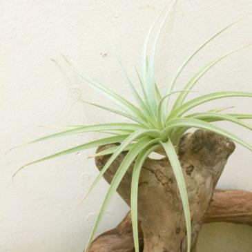 チランジア・ホワイトスター Tillandsia White Star (T. ixioides X T. recurvifolia)育て方 図鑑