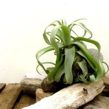 チランジア・ストレプトフィラ Tillandsia streptophylla 育て方 図鑑