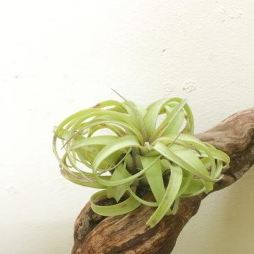 チランジア・レディー Tillandsia Redy (T. streptophylla X T. concolor) 育て方 図鑑