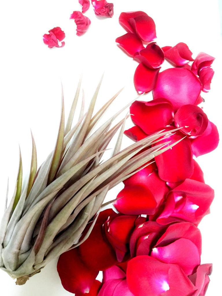 カピタータレッドと薔薇