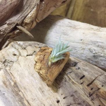 チランジア・アイゾイデス Tillandsia aizoides 育て方 図鑑