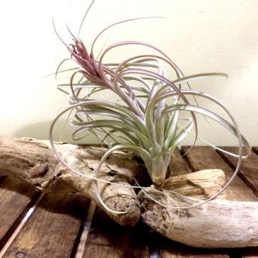 チランジア・ジェス Tillandsia Jes (T. exserta X T. brachycaulos) 育て方 図鑑