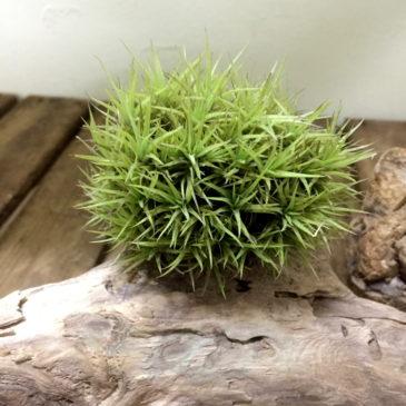 チランジア・アエラントス・ミニアータミニミニミー Tillandsia aeranthos'Miniata MiniMini Me' 育て方 図鑑