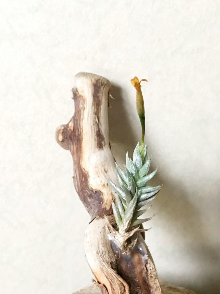 チランジア・アイゾイデス Tillandsia aizoides