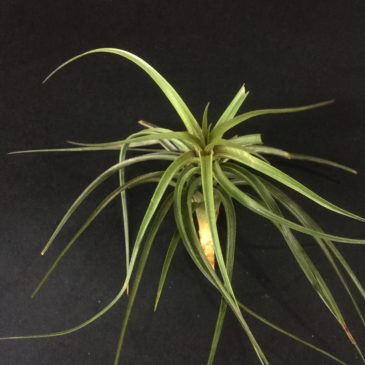 チランジア・ゴードンC Tillandsia Gordon C (T. aeranthos X T. tenuifolia) 育て方 図鑑