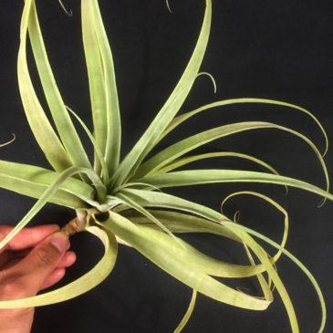 チランジア・ラティフォリア・ギガンテ Tillandsia latifolia 'Gigante' 育て方 図鑑