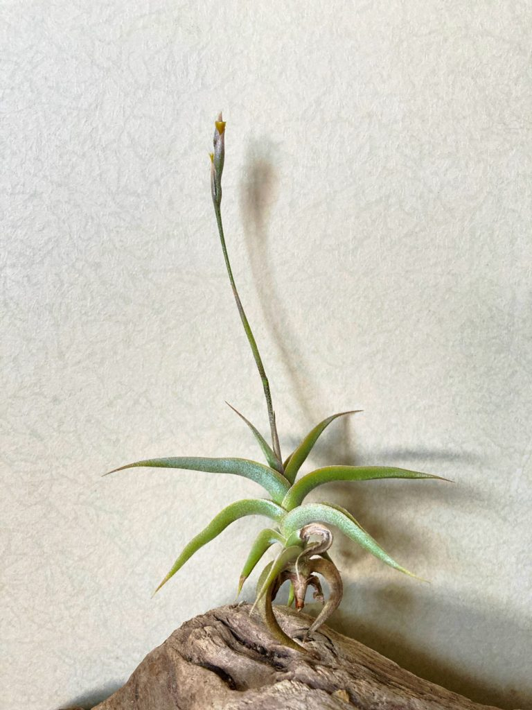 チランジア・テネブラ Tillandsia tenebra
