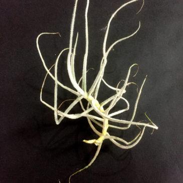 チランジア・グラオモゴレンシス Tillandsia graomogolensis 育て方 図鑑
