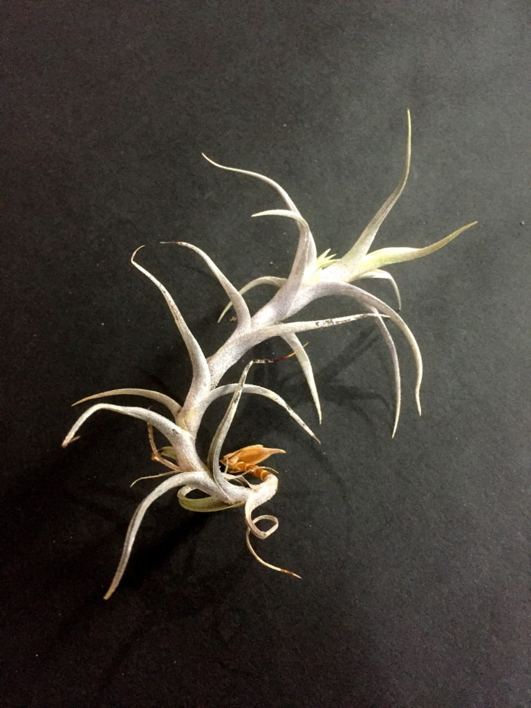 チランジア・ディアグイテンシス Tillandsia diaguitensis