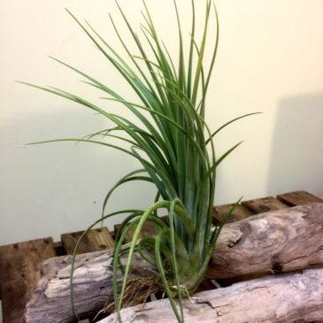 チランジア・ファシクラータ×イオナンタ Tillandsia fasciculata×ionantha 育て方 図鑑