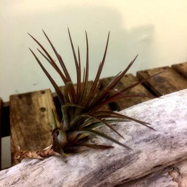 チランジア・トリコロール Tillandsia tricolor 育て方 図鑑