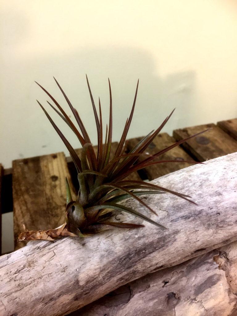 チランジア・トリコロール Tillandsia tricolor