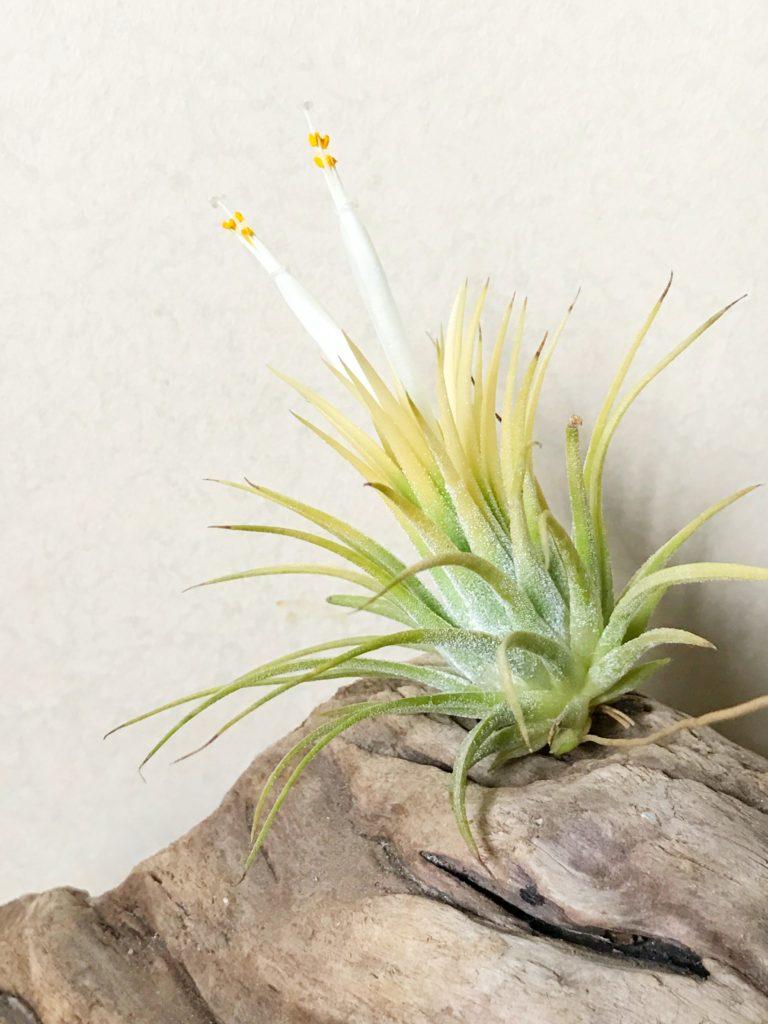 チランジア・イオナンタ・スモウサイズホワイトTillandsia ionantha 'Sumo Size White'