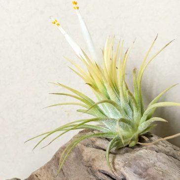 チランジア・イオナンタ・スモウサイズホワイトTillandsia ionantha 'Sumo Size White' 育て方 図鑑