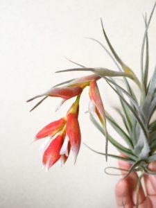 ポーリアナの花序は垂れ下がり白い花を覗かせます