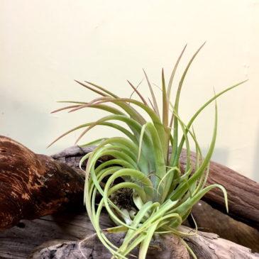 チランジア・クラウンジュエル Tillandsia Crown Jewel (T. ionantha Huamelula X T. abdita) 育て方 図鑑