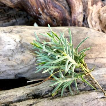 チランジア・カピラリス Tillandsia capillaris 育て方 図鑑