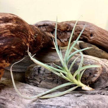 チランジア・カリギノーサ Tillandsia caliginosa 育て方 図鑑