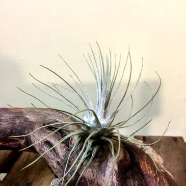 チランジア・プルモーサ Tillandsia plumosa 育て方 図鑑