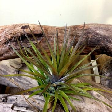 チランジア・モンタナ・パープルフォーム Tillandsia montana 'Purple Form' 育て方 図鑑