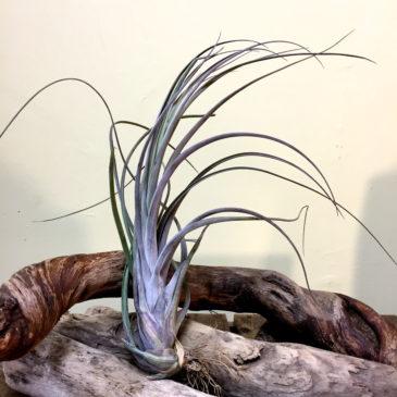 チランジア・プセウドベイレイ×ストレプトフィラ Tillandsia pseudobaileyi x streptophylla 育て方 図鑑