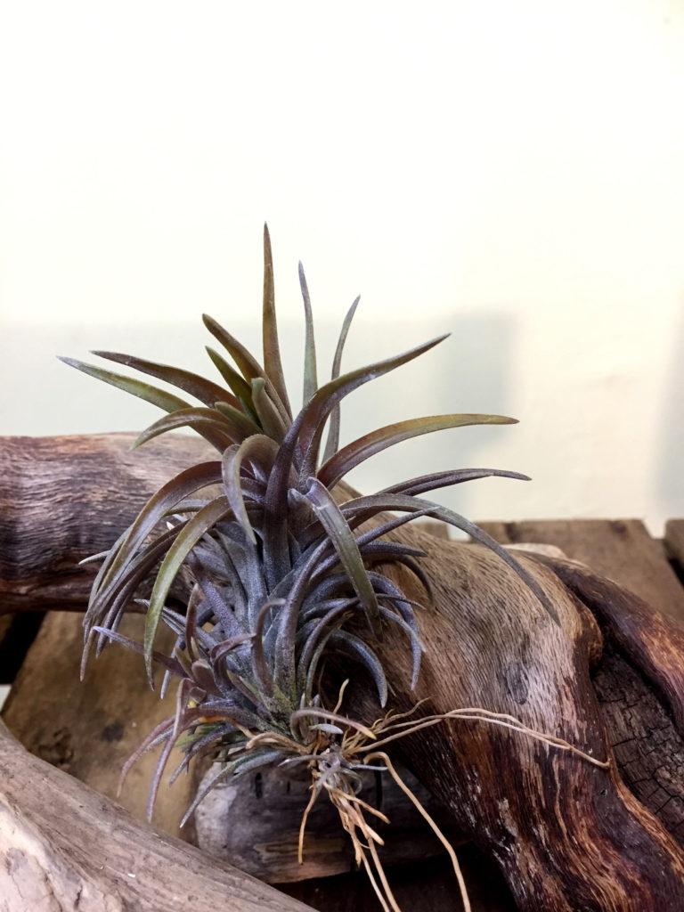 チランジア・ネグレクタ・レッドジャイアント Tillandsia neglecta 'Red Giant'
