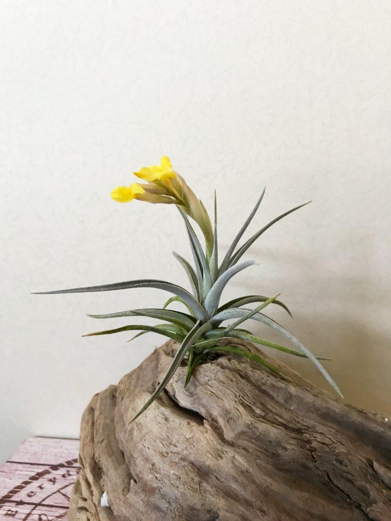 チランジア・イキシオイデス・フレグラントドワーフ Tillandsia ixioides 'Fr. Dwarf'