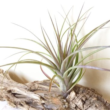 チランジア・ベロエンシス×フラベラータ Tillandsia belloensis × flabellata 育て方 図鑑