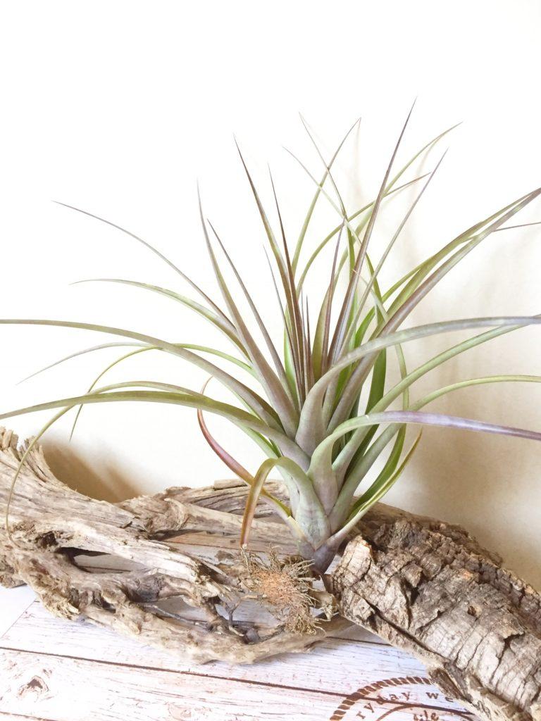 チランジア・ベロエンシス×フラベラータ Tillandsia belloensis × flabellata