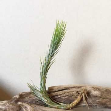 チランジア・フンキアナ・ジョリーグリーンジャイアント Tillandsia  funckiana 'Jolly Green Giant' 育て方 図鑑