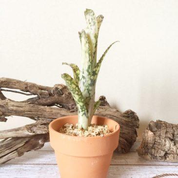 ビルベルギア ・ブラヴォー billbergia 'Bravo' ('Poquito Blanco' x 'Domingos Martins') 育て方 図鑑 【Frontier Plants】
