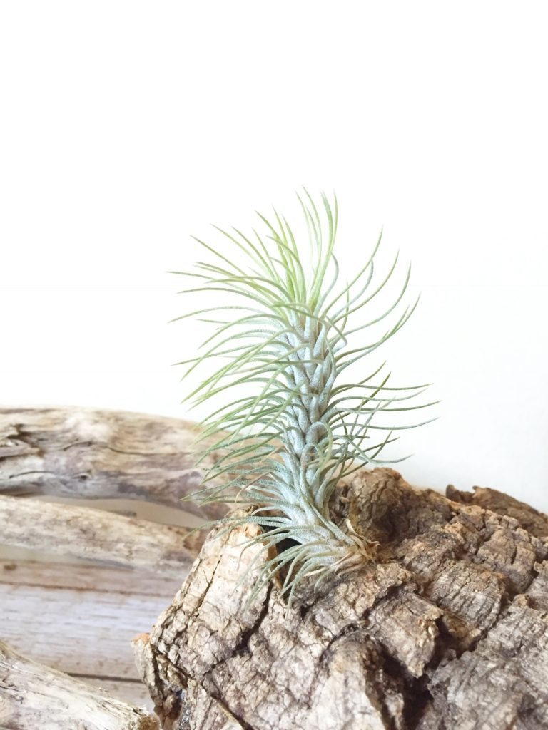チランジア・フンキアナ・レクルビフォリア Tillandsia funckiana v. recurvifolia