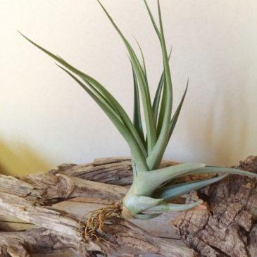 チランジア・ドゥラティー×ラティフォリア Tillandsia duratii×latifolia 育て方 図鑑