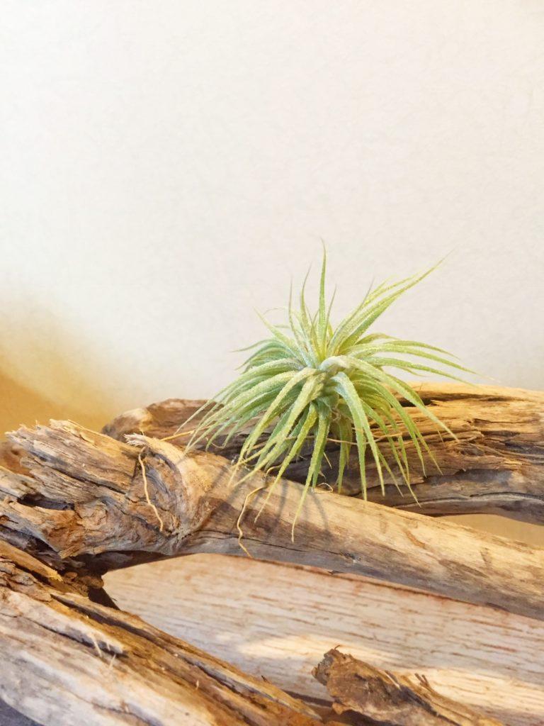 チランジア・ウアメルラ Tillandsia huamelula