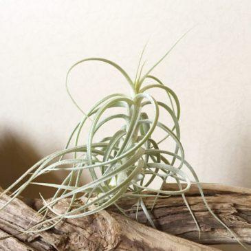 チランジア・スウィートイザベル Tillandsia Sweet Isabel (T. tectorum X T.paleacea) 育て方 図鑑