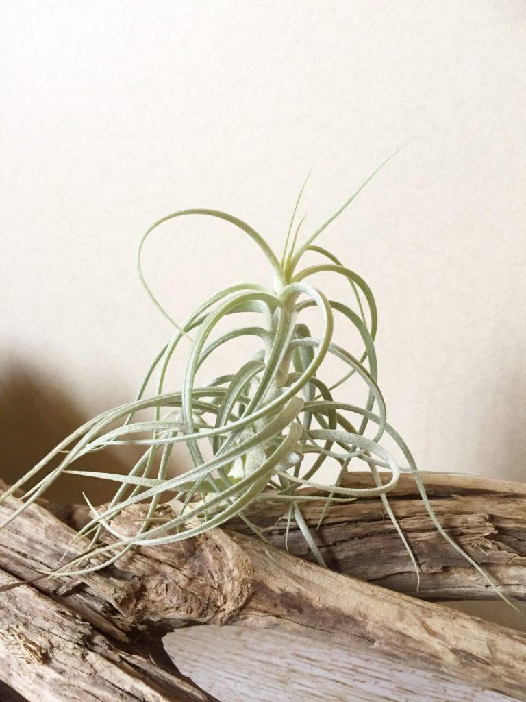 チランジア・スウィートイザベル Tillandsia Sweet Isabel (T. tectorum X T.paleacea)