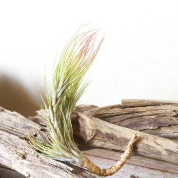 チランジア・フンキアナ・ゴールデンリーフ  Tillandsia funckiana 'Golden Leaf' 育て方 図鑑