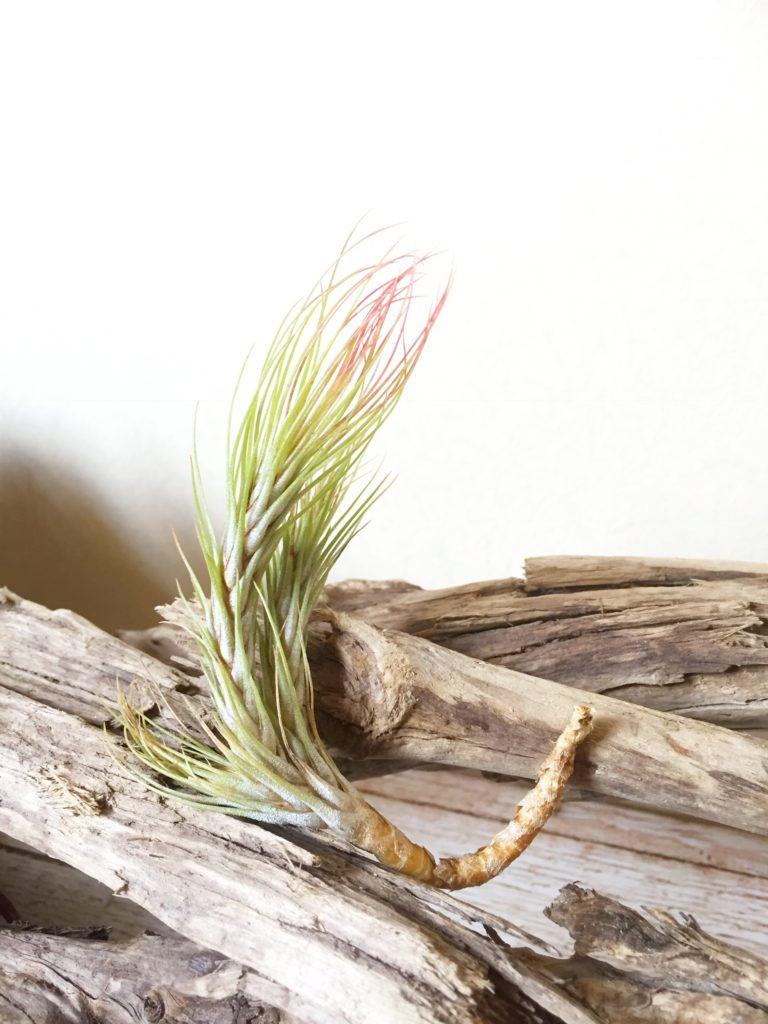 チランジア・フンキアナ・ゴールデンリーフ Tillandsia funckiana 'Golden Leaf'
