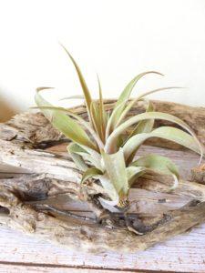 チランジア・リオホンドエンシス(チランジア・カピタータ・シルバーローズ)Tillandsia riohondoensis
