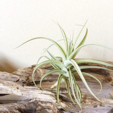 チランジア・エドドハーティー  Tillandsia Ed Doherty (T. aeranthos X T. leonamiana) 育て方 図鑑