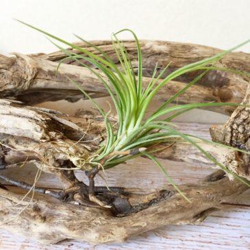 チランジア・テヌイフォリア・グリーンゴッデス Tillandsia tenuifolia 'Green Goddess' 育て方 図鑑