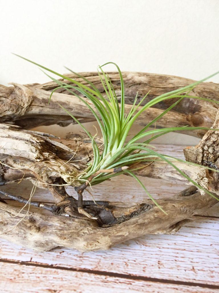 チランジア・テヌイフォリア・グリーンゴッデス Tillandsia tenuifolia 'Green Goddess'