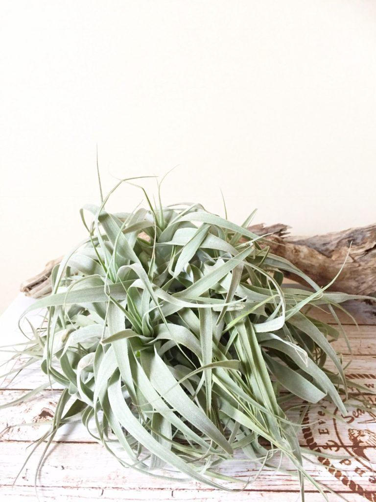 チランジア・カクティコラ・グリーン Tillandsia cacticola 'Green'